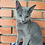 Thumbnail: 215 Fabian   Russian blue male kitten