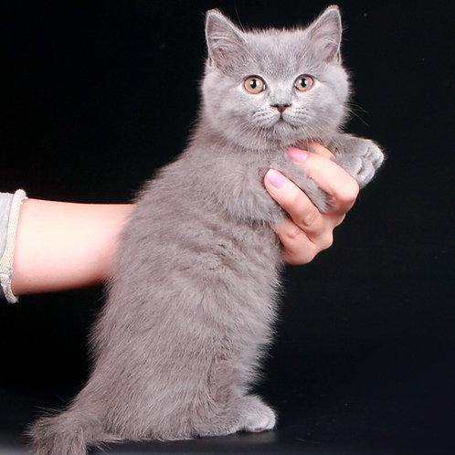 284 Okkervil     Munchkin shorthair male kitten