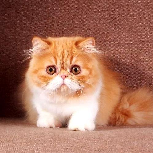 248 Marisha   Persian  female kitten