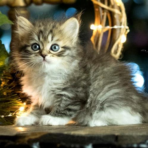 5 Bass Siberian male kitten