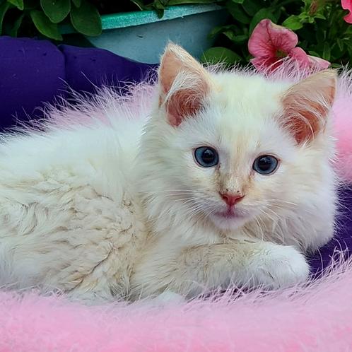 204 Oggy  purebred Ragdoll male kitten