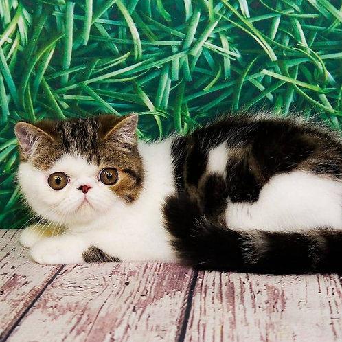 227 Melody Exotic  female kitten