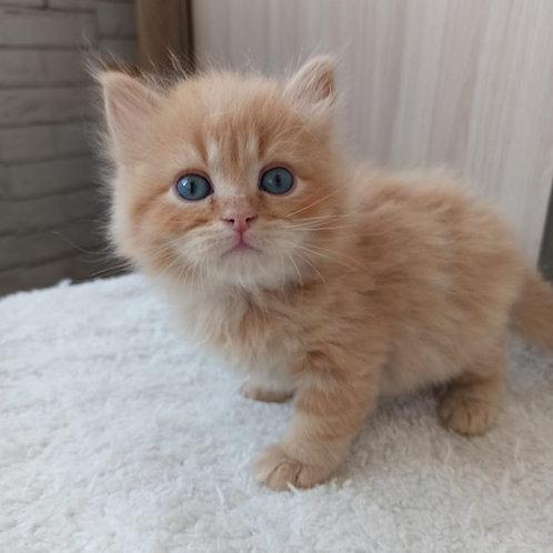 Imbir Siberian male kitten