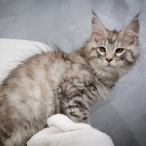 357 Fiona  Maine Coon female kitten