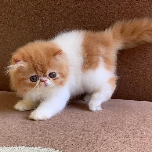 Delightful Squirrel Persian female kitten