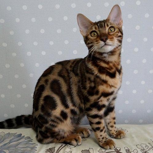 239 Darlin  purebred Bengal female kitten