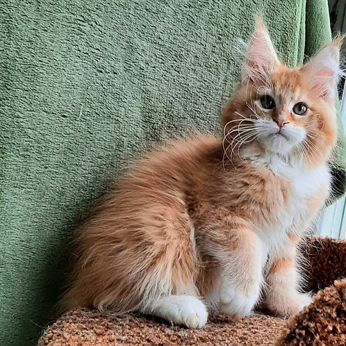 Mikle Maine Coon male kitten