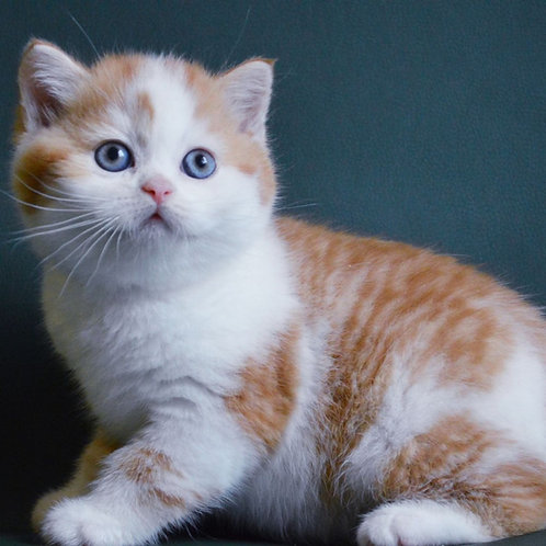 Ogonyok Scottish straight shorthair male kitten