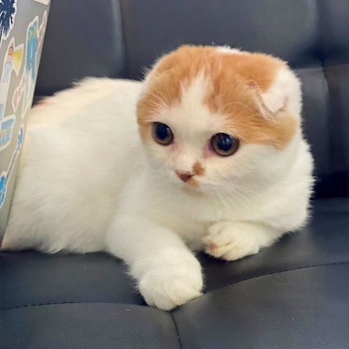 Seville Scottish fold shorthair male kitten