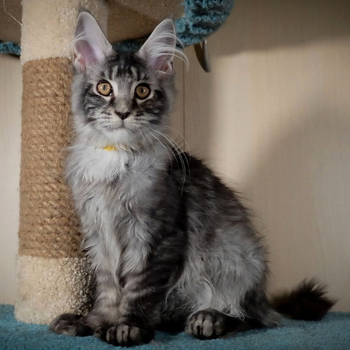 270 Baly polydactyl   Maine Coon male kitten