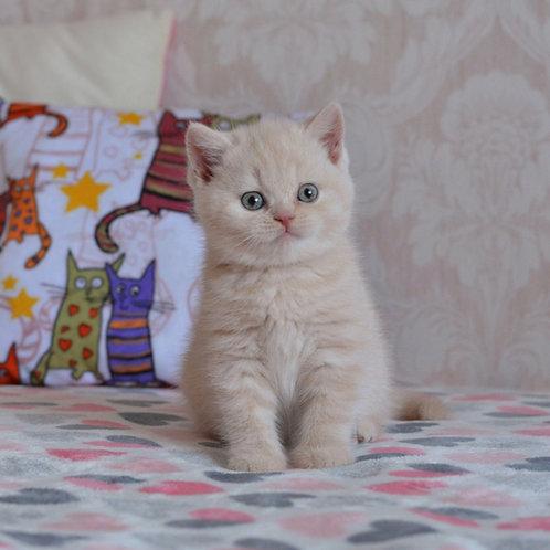 Richard British shorthair male kitten