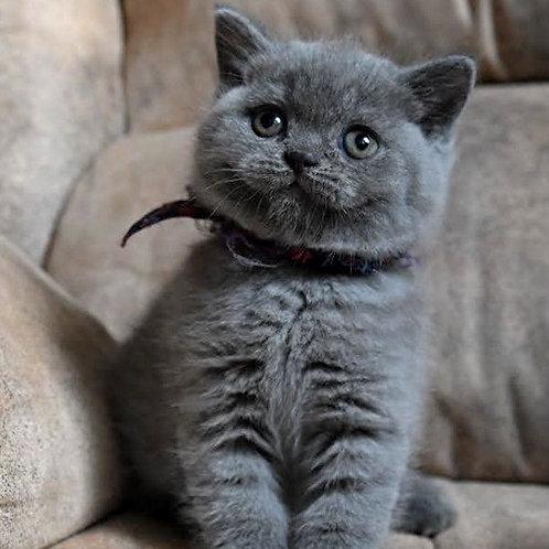 624 Yoyo  British shorthair male kitten