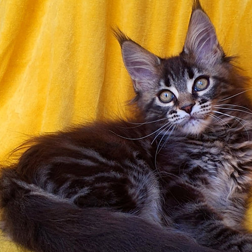 211 Atika   Maine Coon female kitten