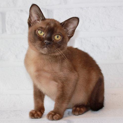 133 Cardinal   Burmese  male kitten