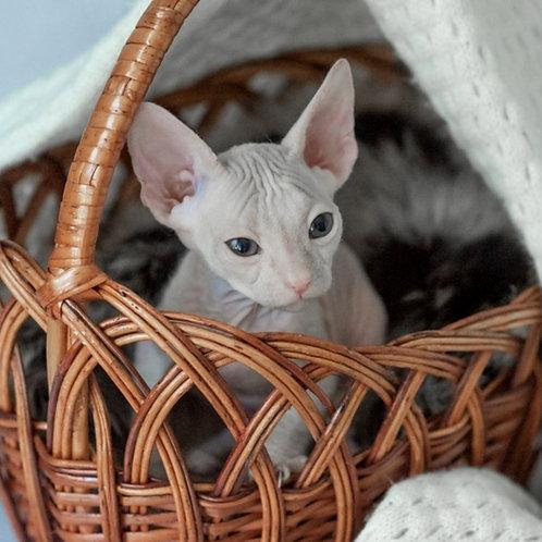 722 Amanda    female Sphynx Donskoy kitten