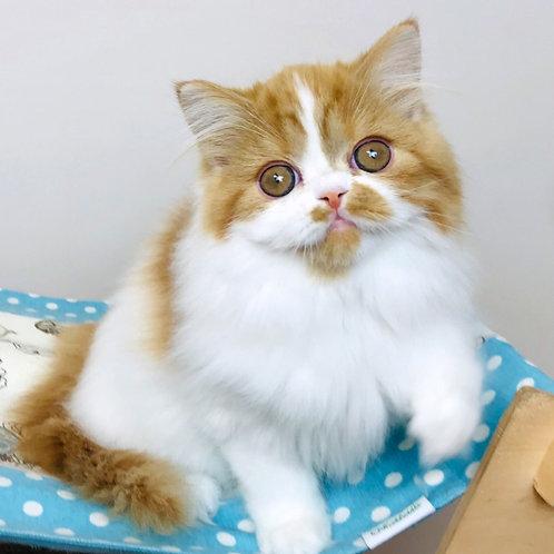 192 O'Xara    Scottish straight longhair female kitten