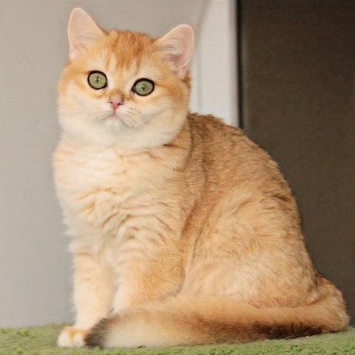 775 Tessa  British shorthair female kitten