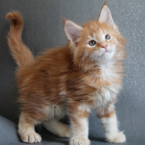 678 King of the Jungle  Maine Coon male kitten
