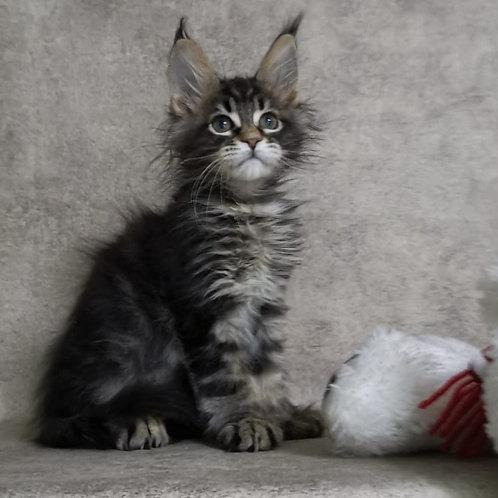 Chupa Chups Maine Coon female kitten