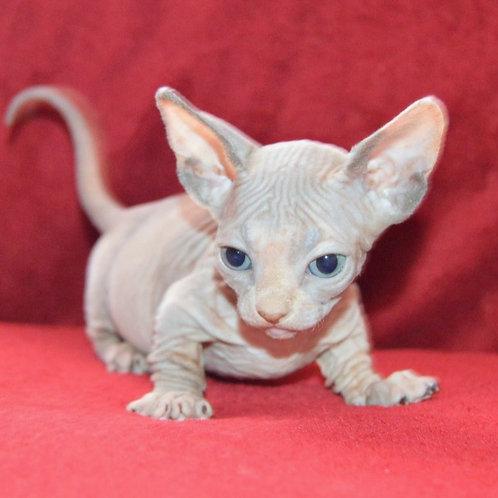 192 Ariadna female Bambino  kitten