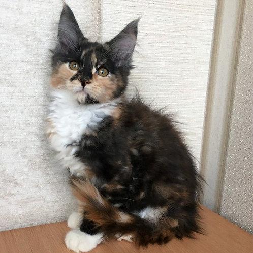 799 Matilda Maine Coon female kitten