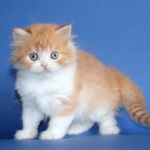 809 Gloria   Scottish straight longhair female kitten