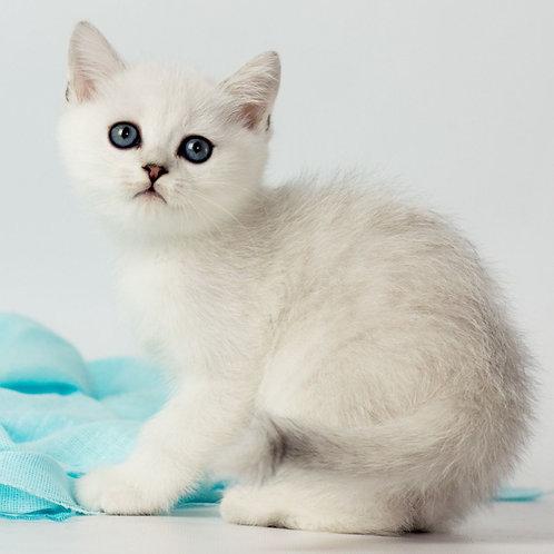 976 Enrique   British shorthair male kitten