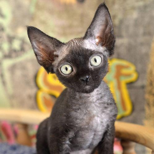 417 Zorro   male Devon Rex kitten