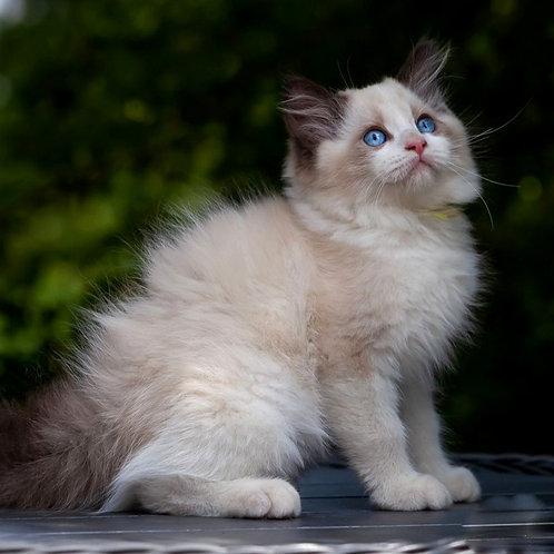 248 Altair    Ragdoll male kitten