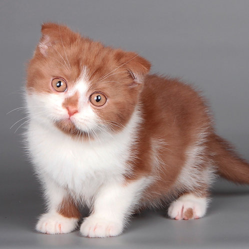 437 Nocheblood    Scottish fold shorthair male kitten