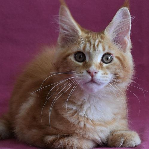 281 Garfield  Maine Coon male kitten