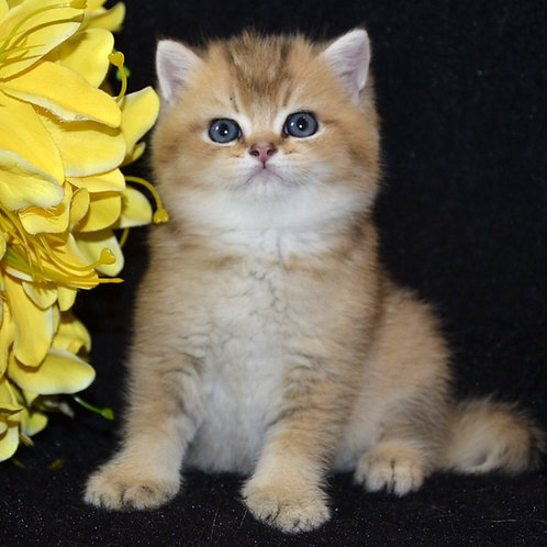 Snuppi British shorthair male kitten