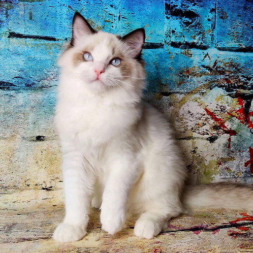 548 Jon  Ragdoll male kitten