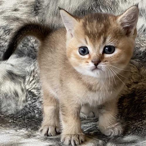 Vatson Scottish straight shorthair male kitten