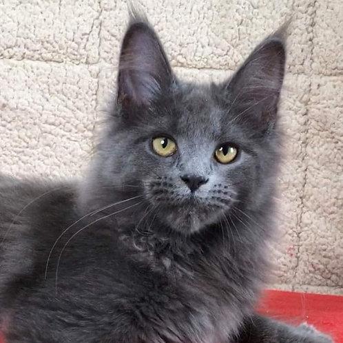 Ellen Maine Coon female kitten