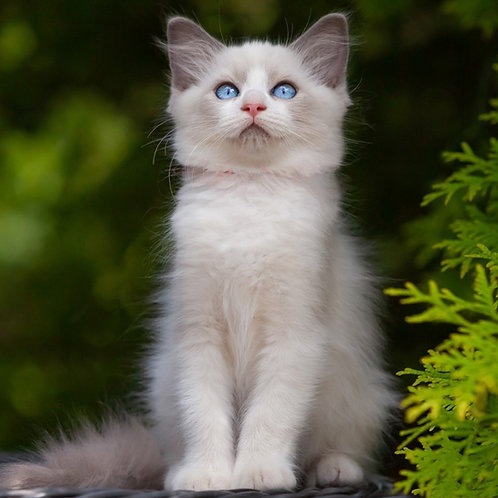 255 Dina   Ragdoll female kitten
