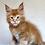 Thumbnail: 563 Axel  Maine Coon male kitten