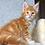 Thumbnail: 846 Jack Daniels  Maine Coon male kitten
