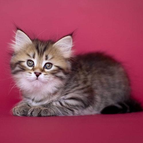 73 Cataleya     Siberian female kitten
