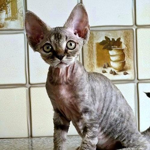 430 Holli   female Devon Rex kitten