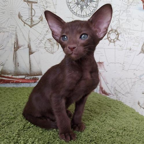 382 Violeta   Oriental female kitten