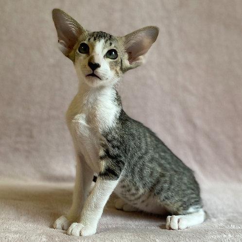 576 Crush   Oriental male kitten