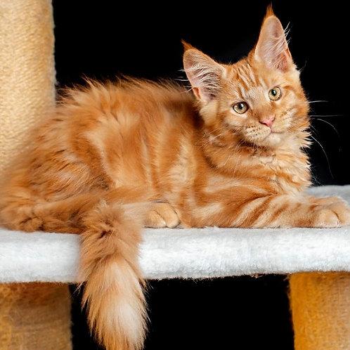 539 Igor  Maine Coon male kitten