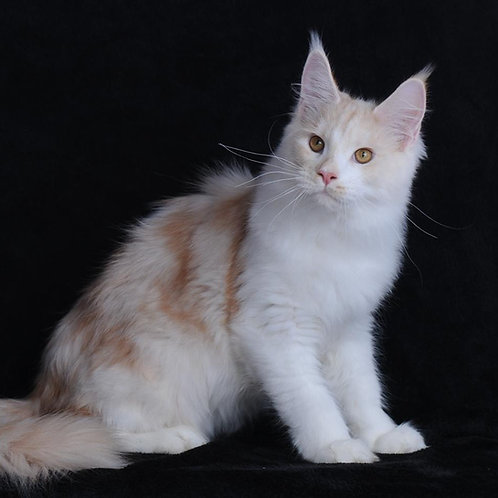 122 Max  Maine Coon male kitten