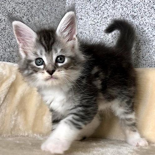 828 Rovena  Maine Coon female kitten