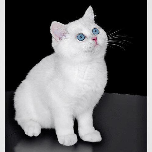 425 Teddy Rey  British shorthair male kitten