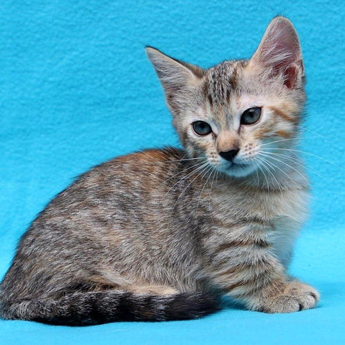 925 Lilia Munchkin  shorthair female kitten