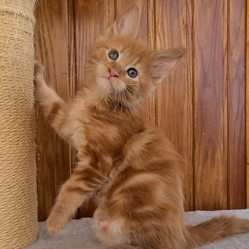 385 Gregory  Maine Coon male kitten