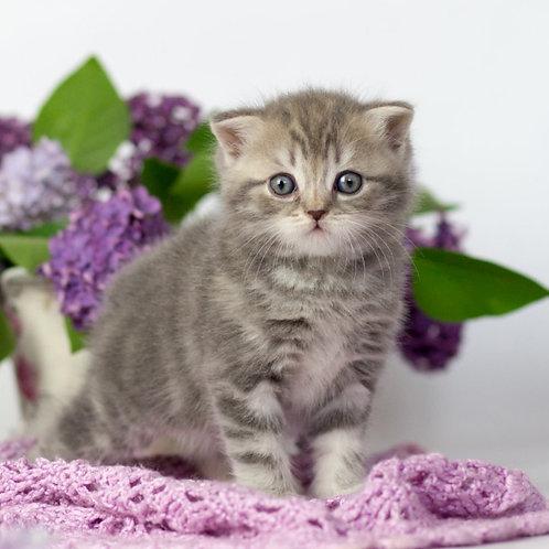 661 Quentin   Scottish straight shorthair male kitten