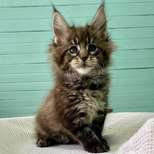 94 Ilker    Maine Coon male kitten